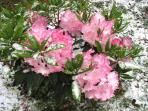 Rhododendron in snow at Lyrebird Cottages