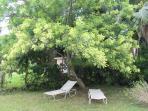 SWEET PLUM TREE