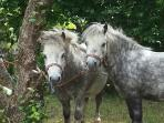 Nigel and Woody, mini Shetland ponies in the orchard