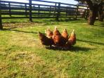 One happy family of hens in the orchard