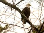 Bald eagles frequent the lake in the wintertime