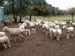 Sheep heard at the Pfeiffer Ranch