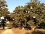 Beautiful entrance of Hill Country Oak Trees coming into the ranch