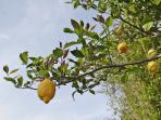 Citronniers de Menton