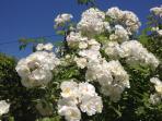 particolare rose