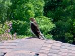 We have a mating pair of red shouldered hawks that frequent our land and raise a brood every year