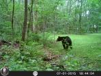 a rare small black bear in mid May eating our raspberries