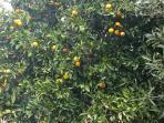 One of the many orange trees