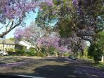 Welcome to the neighborhood -- jacaranda trees welcome you with a carpet of purple!