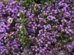 Wild flowers in garden and close by: Wild Thyme