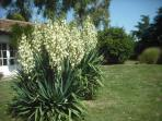 Yucca in bloom Aug - Oct