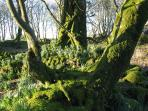 wonderful mossy haven with big old trees across the moor...