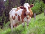 Rinder und Kühe auf der Weide. Typisch im bayrischen Voralpenland.