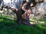 ancient  olive trees for visit