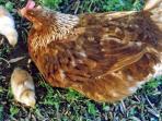 fresh eggs from free range hens