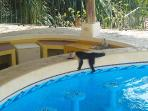 Capuchin monkey cooling off at the pool
