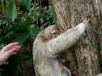 A 3-toed Sloth climbing a tree at the house