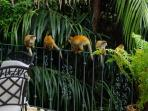 Mono titi monkeys at the pool