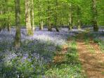 Bluebells in Spring are simply stunning!