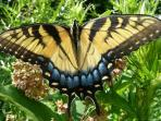 swallow tailed butterflies in our gardens