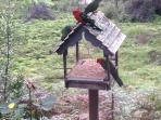 King Parrots having breakfast