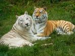 Sandown's famous Tiger Zoo is just a short stroll from the chalet's location