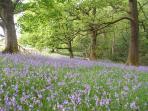 Roeburndale bluebells