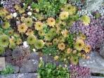 Sedum growing happily in the Red Cottage rock garden