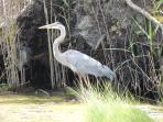 Blue heron grace the wetlands at the Season\'s development!