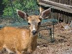 Located so close to Moran State Park often times ensures a visit from our friendly neighbors