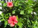 Hibiscus - This one will look great in your hair!