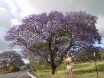 JACUANDA TREES ON HALEAKALA