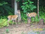 More deer visitors!