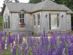 front of cottage lupine season