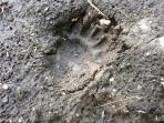 Bear track; yes there are bears and no, we hardly ever see them!