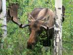 Moose roam the area around Sun Valley Lake and Whispering Pines Lodge.