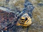 One of the ancient Green Sea Turtles that daily visit our tidepools