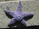 Nedonna Beach starfish