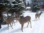 deer visit our home all year round!