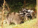 Raccoons at the Pointe