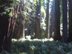 More Giant Redwoods in Stout Grove
