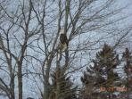 Bald eagle waiting for ice fishermen