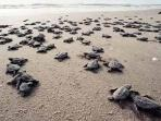In sea turtle hatching season, watch for the babies on Tybee!