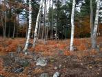 In the birch and pine forest