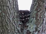 Baby Racoons in tree