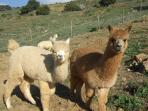 Alpaca boys