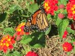 Come see  beautiful wildlife in Cape May in the fall. Shot 10/16/15 in our yard.