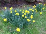 4 distinct seasons - these daffodils have been blooming by stream for 100+ years