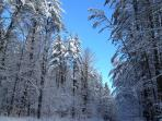 Towering pines of the Adirondacks