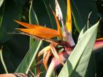 Birds of Paradise flower in our garden blooming in the Fall.